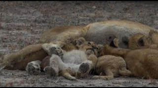 Download Safari Live : Styx Pride with 8 Cubs as seen on drive this afternoon July 25, 2016 Video