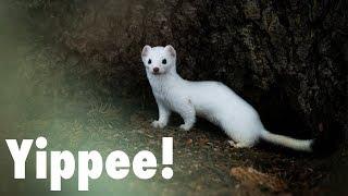 Download I've got Weasel Fever?!? | Wildlife Photography in Jackson Hole Video