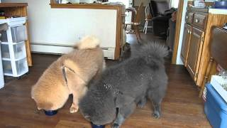 Download Chow Chow Training ... getting better 03.22.12 Video