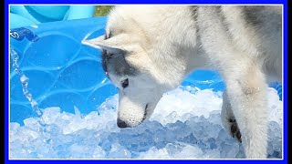Download HUSKY ICE POOL PARTY | ICE BATH for the Siberian Huskies Video