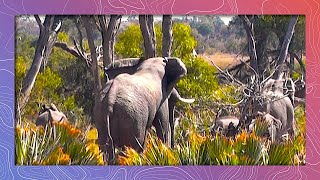 Download Elephant Bull Gives Nuts to the Ladies | Shakes Palm Tree Video