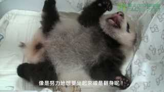 Download 圓仔努力翻身 Baby Giant Panda Turn The Body Over Video