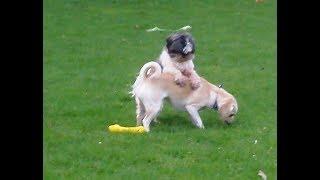 Download Benji & Buster Shih Tzu, Millie Puggle & Peppa Bichon Frise mooching. Video