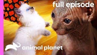 Download Ragdoll, Burmese, and Sphynx Kittens | Too Cute! (Full Episode) Video