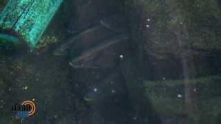 Download ปลาเสือตอ ตอน 1 Video