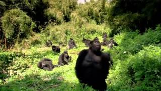 Download THE GORILLA KING Discovery Animals Nature documentary Video