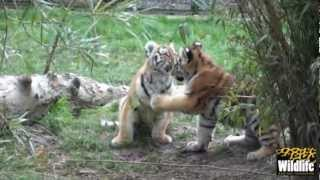 Download BCS Amur Tiger Cubs 2012 - play fighting at 17 weeks old! Video