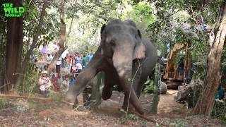 Download Elephant gets saved from hunters by wildlife team (part 2). Video