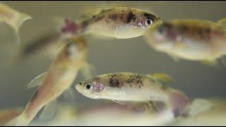 Download Zebrafish: Unlocking the genetics of melanoma Video