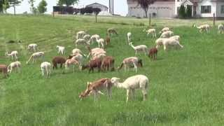 Download All About Alpacas - River Hill Ranch (Richmond, KY) Video