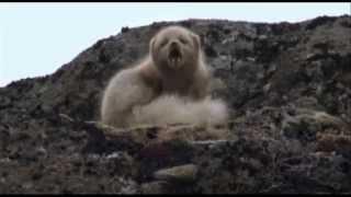 Download Arctic fox duet Video