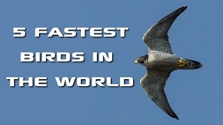 Download Top 5 Fastest Birds in the World: Fastest Animals on Earth - FreeSchool Creature Countdown Video