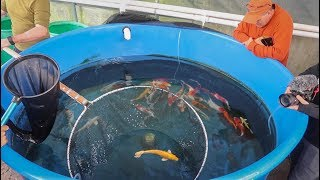 Download BUYING KOI FISH for NEW POND!! Video