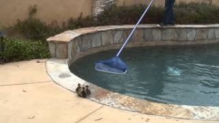 Download Ducklings Trying to Escape from Swimming Pool Video