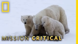 Download Polar Bear Mom Fights Back | Mission Critical Video