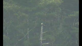 Download Audubon Hog Island Osprey Cam ~ Bailey & Rachel Spending Time Together 8.22.17 Video