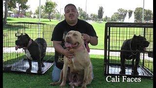 Download Breeding $10,000 Pit Bulls Video