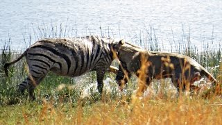 Download Brave lion tackles pregnant zebra into the water to feed her cubs - Hunting battle from Pilanesberg Video