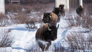 Download Wild Bison Return to Banff National Park Video