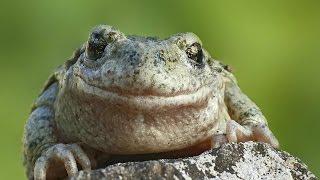Download Faune et Flore : La grenouille et le crapaud - Documentaire animalier Video