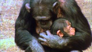Download CHIMPS FAMILY 1 Video