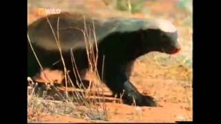 Download The Crazy Nastyass Honey Badger (original narration by Randall) Video