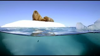 Download Filming Walrus With The Megadome - Blue Planet II - Behind The Scenes Video