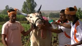Download Kolhapur khillari bulls pulling a cart at 33 Km per hour speed Video