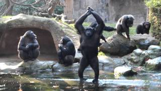 Download Funny Chimps, So Human-Like Video