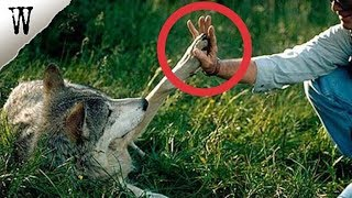 Download Man Rescues Wolf and Her Puppies, 4 Years Later... Video