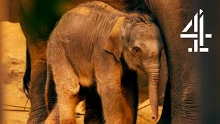 Download Baby Elephant Abandoned By Mother Immediately After Birth   The Secret Life Of The Zoo Video