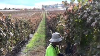 Download 🍇FAST PICKING GRAPES CANADA-Westbank B.C🍇 Video
