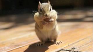 Download Eastern Chipmunk Video