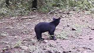Download Lost Bear cub crying for mom Video