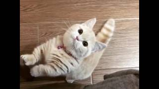 Download Cat - Give me food hooman!! Video