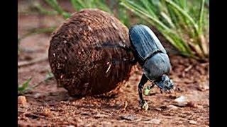Download Amazing True Facts About Dung Beatles Video