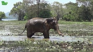 Download An elephant with an injured leg makes a muddy mess. Cute when resisting! Video