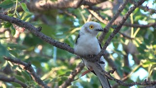 Download Birds of Northern South Africa part 5 Video