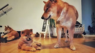 Download Lil ears do a pop - MLIP / Ep 178 / Shiba Inu puppies Video