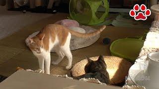 Download 猫の去勢手術から3日目【瀬戸のまや日記】Day3. a neutered cat . Maya Video