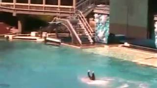 Download Killer Whale Attacks at Sea World! UNCUT VIDEO!!!!! Video