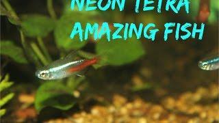 Download Neon Tetra: Amazing Fish Video