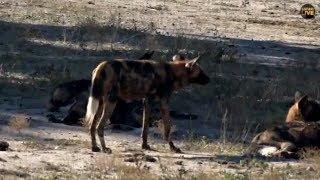 Download Pt 2 Safari Live's Sunrise Safari Drive at 8:30 AM on May 08, 2018 ( Xidulu & Wild Dogs ) Video