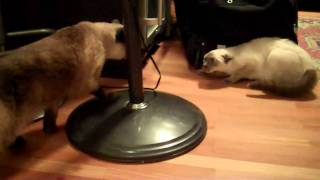 Download Real Siamese Cat Fight - Sienna vs Aiko - First Time Meeting Video