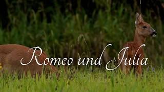Download Mating deer, rutting season, high quality Video