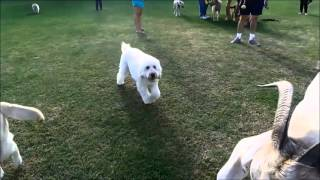 Download Gary the goat goes to the dog park. Video