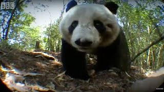 Download Panda Bear Marks Territory   Bears   BBC Earth Video