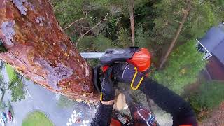 Download ANOTHER PINE REMOVAL! Video