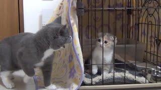 Download 先住猫すずがブチギレ!新しい家族がやってきた! Video