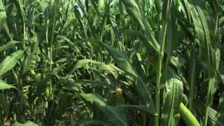 Download Corn Growers Convert to Subsurface Drip Irrigation Video